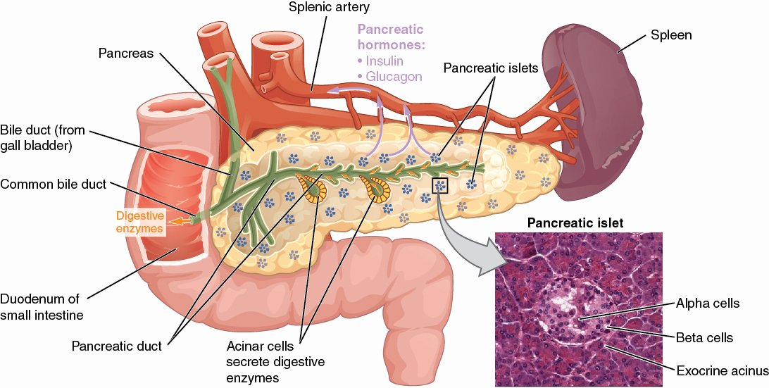 Anatomy and Physiology Blank Diagrams Best Of 17 9 the Endocrine Pancreas – Anatomy and Physiology