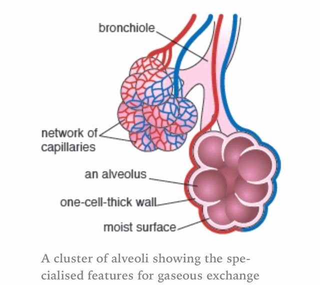 Anatomy and Physiology Blank Diagrams Inspirational Alveoli Air Sacs Massively Increase the Surface area Of