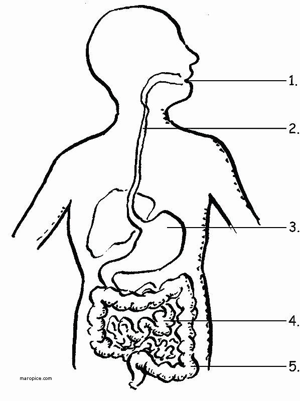 Anatomy and Physiology Blank Diagrams Luxury Blank Anatomy Diagram organs – Vmglobal