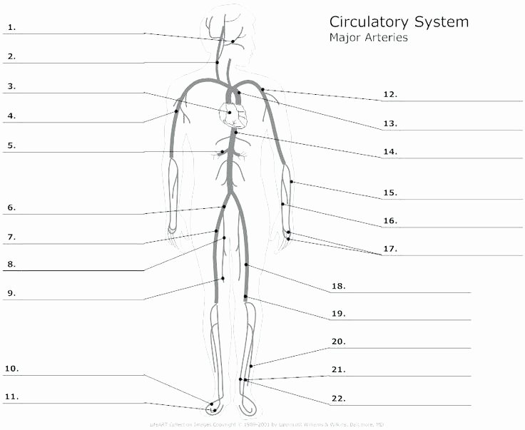 Anatomy and Physiology Blank Diagrams New Circulatory System Labeling Worksheets – Morningknits