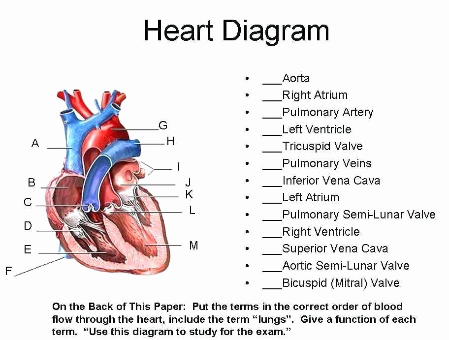 Anatomy and Physiology Labeling Worksheets Human Heart Worksheets