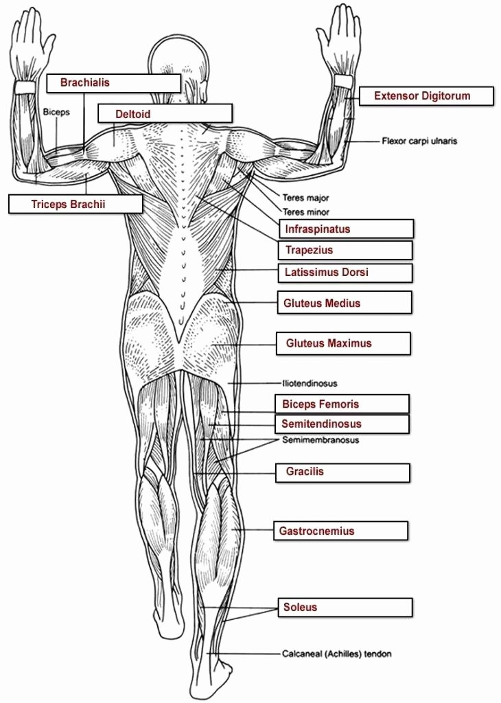 Anatomy Labeling Worksheets Human Body Coloring Pages for Kindergarten