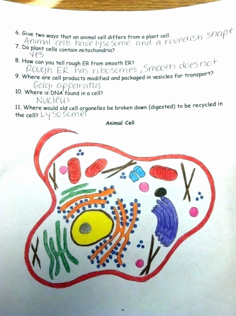 Animal Cell Blank Worksheet Animal Cell Coloring Answer Key Animal Cell Coloring Answer