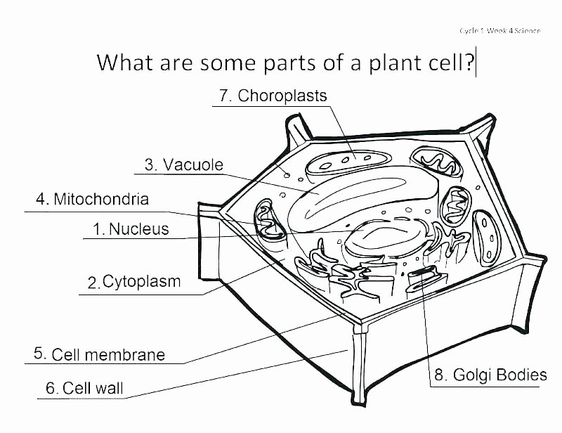 Animal Cell Blank Worksheet Animal Cell for Coloring – Queenandfatchef