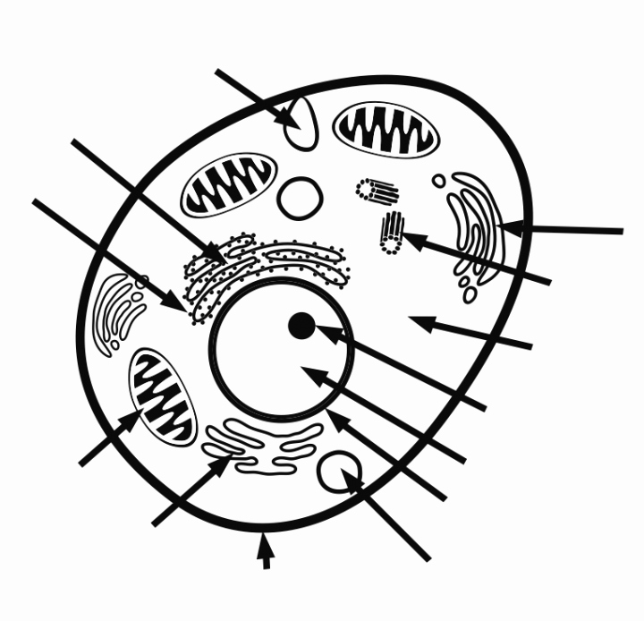 Animal Cell Blank Worksheet Animal Cells Drawing at Getdrawings