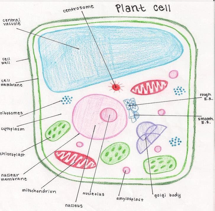 Animal Cell Labeling Worksheet Answers Awesome Plant Cell Drawing at Getdrawings