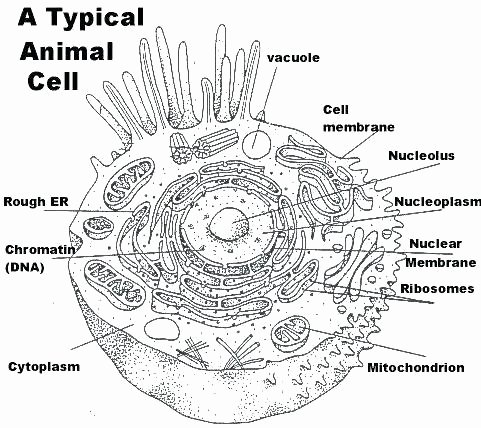 Animal Cell Labeling Worksheet Answers Fresh Plant and Animal Cells Coloring Pages – Spikedsweettea