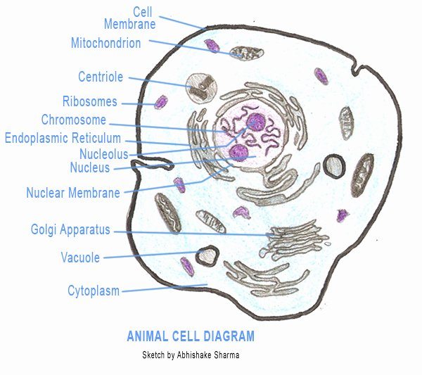 Animal Cell Labeling Worksheet Answers Luxury Animal Cell Parts
