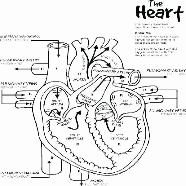 Blank Diagram Of the Heart Human Heart Worksheets