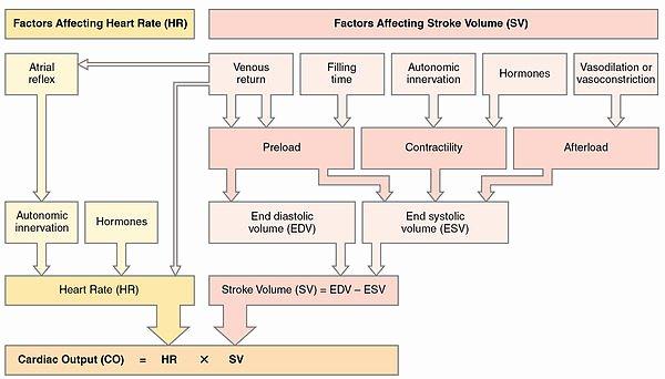 Blank Heart Diagram to Label Cardiac Physiology