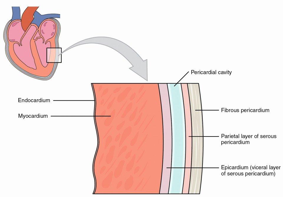Blank Heart Diagram to Label Heart Anatomy
