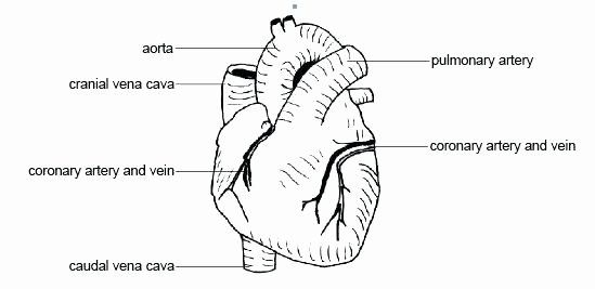 Blank Heart Diagram to Label Heart Printable Coloring Pages Valentine Human Anatomy and