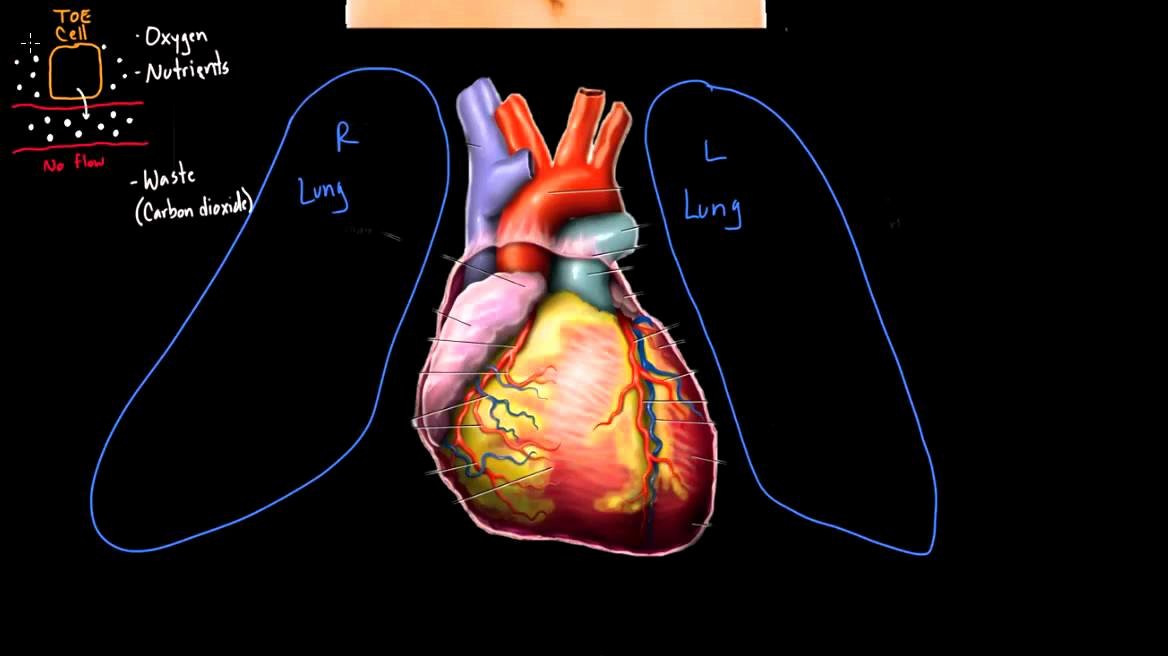 Blank Heart Diagram to Label Meet the Heart Video Human Body Systems
