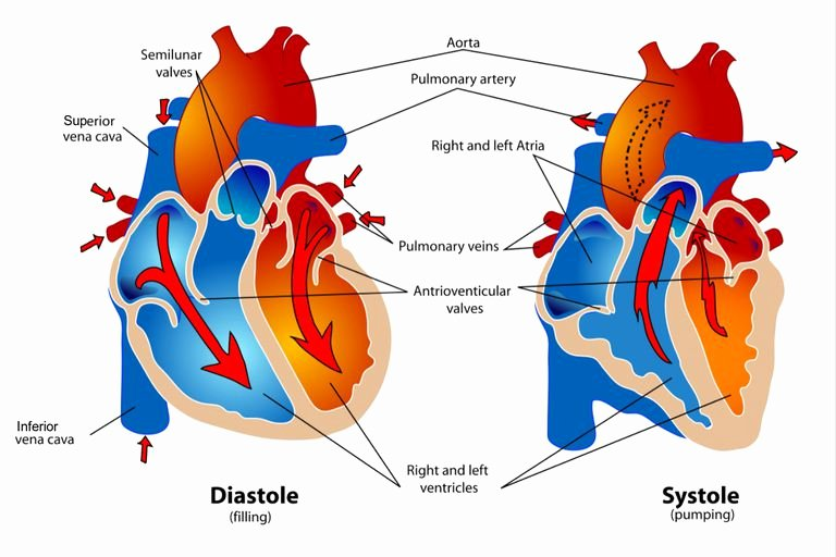 Blank Heart Diagram to Label Phases Of the Cardiac Cycle when the Heart Beats