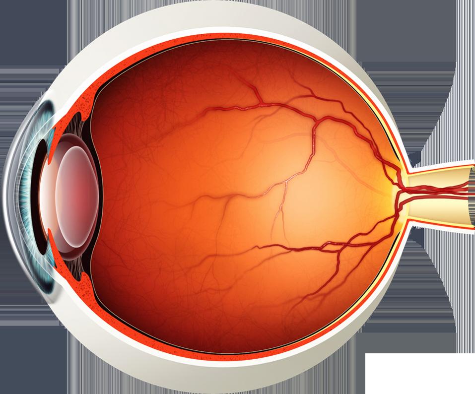 Blank Human Body Diagram Elegant Diagram Of the Eye Lions Eye Institute