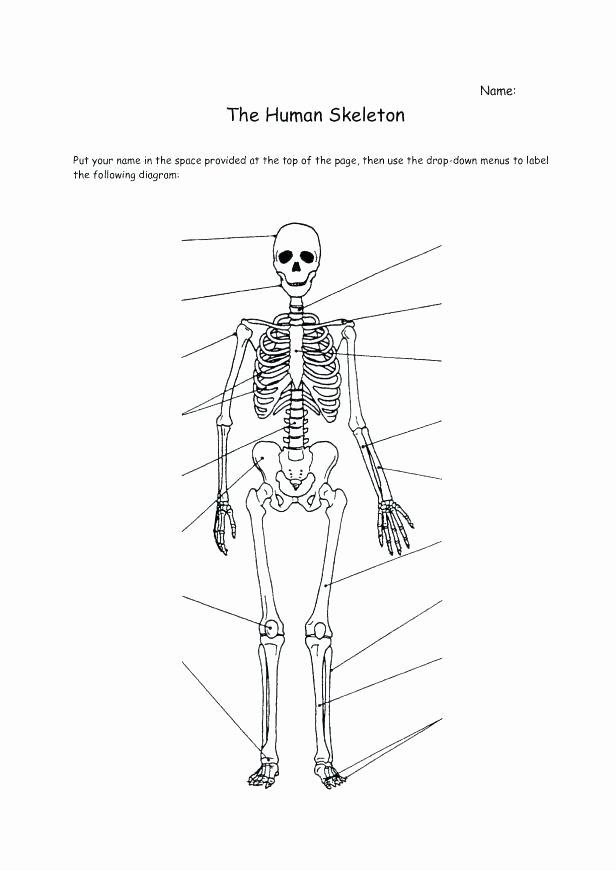 Blank Human Body Diagram Fresh Skeletal System Printable Worksheets Simple Bone Diagram Co