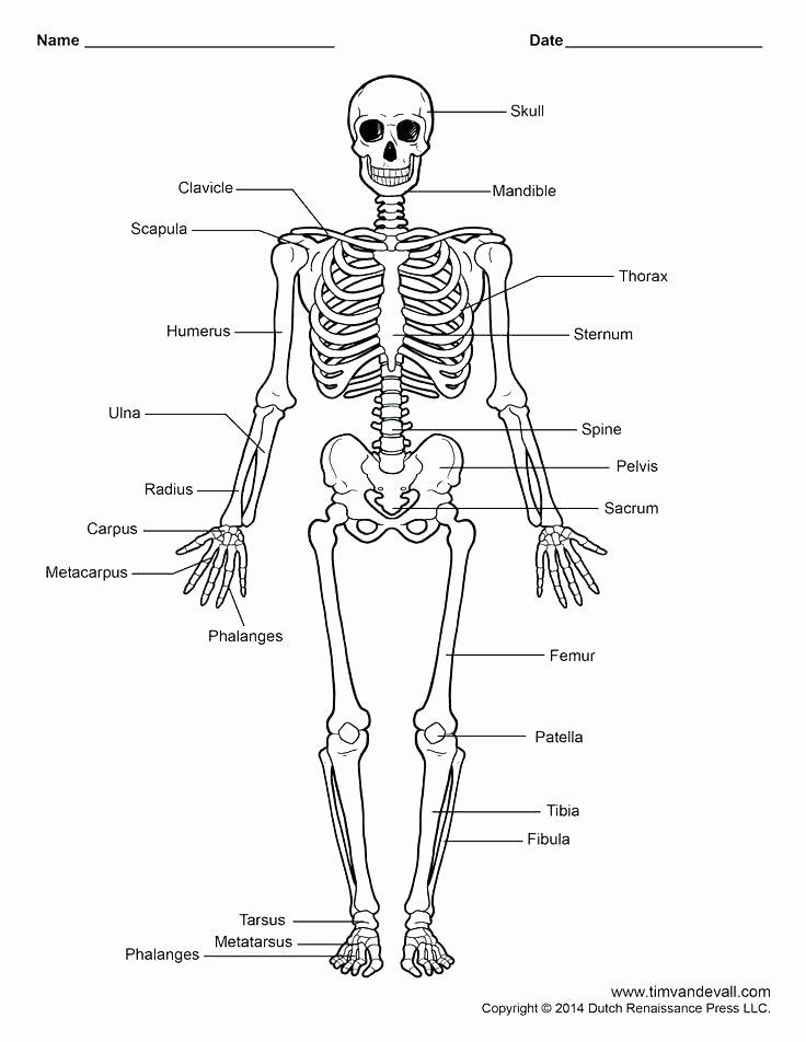 Blank Human Body Diagram Inspirational Circulatory System Labeling Worksheets – Morningknits