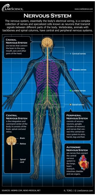 Blank Human Body Diagram Lovely Human Nervous System Diagram How It Works