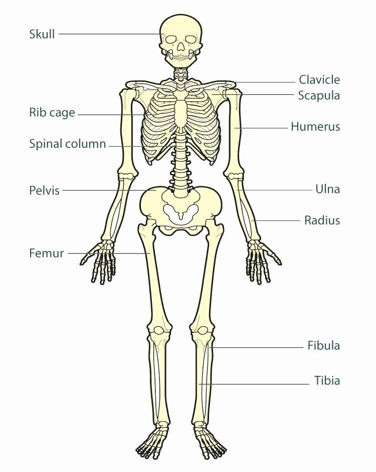 Blank Human Body Diagram Lovely Skeleton Diagram Blank – Vmglobal