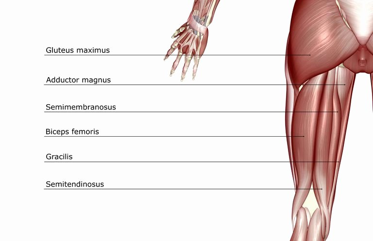 Blank Human Body Diagram Luxury Anatomy Of the Hamstring Muscles