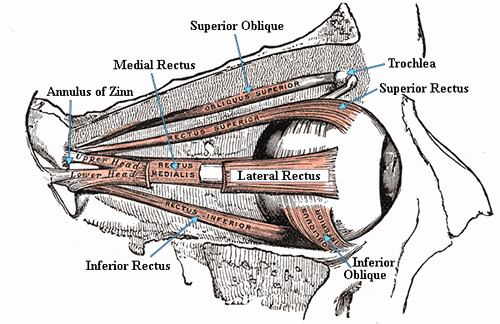 Blank Muscle Diagram to Label Extraocular Muscles and Movements