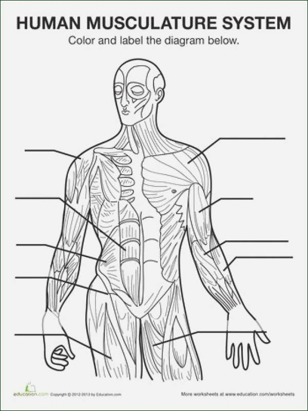 Blank Muscle Diagram to Label Muscular System Sketch at Paintingvalley