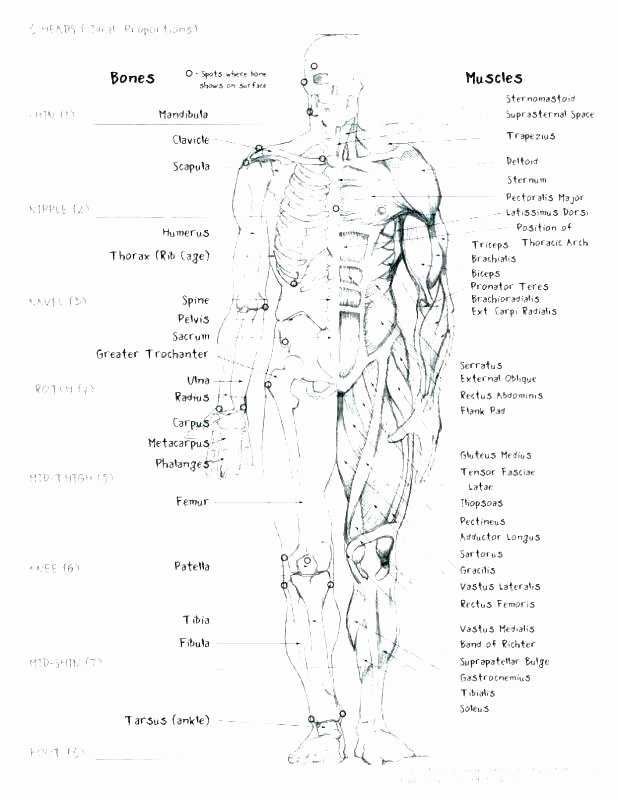 Blank Muscle Diagram to Label Muscular System Worksheets for Kids
