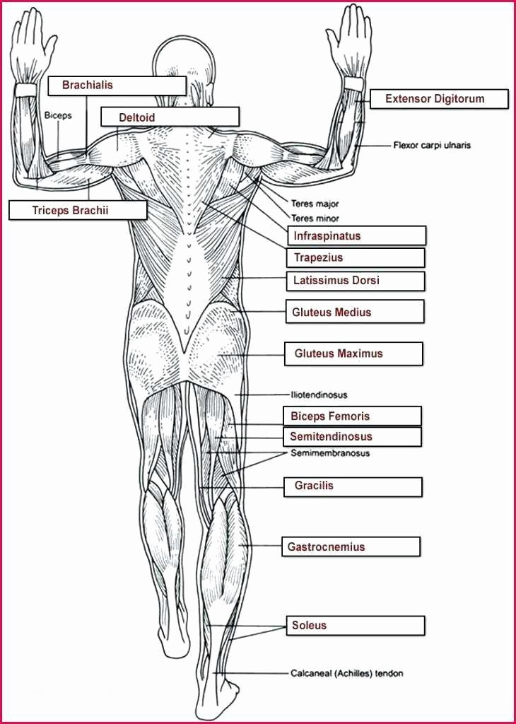 Blank Muscle Diagram Worksheet Beautiful 50 Labeled Muscle Diagram