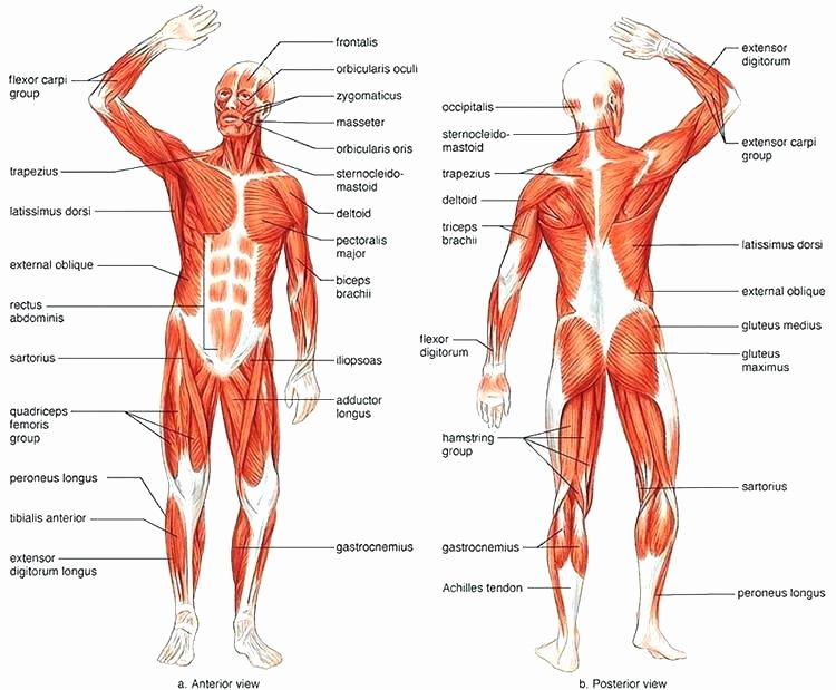 Blank Muscle Diagram Worksheet Beautiful Body Systems Worksheets Answers System Challenge Worksheet