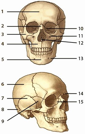 Blank Muscle Diagram Worksheet Best Of Blank Skull Diagram Human Anatomy