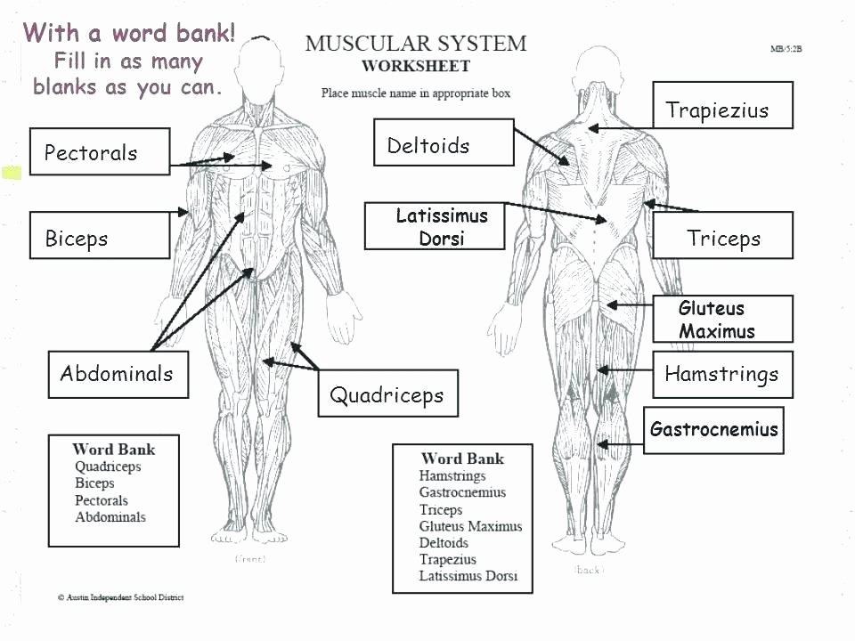 Blank Muscle Diagram Worksheet Inspirational Muscular System Worksheets 3rd Grade