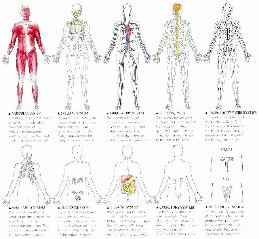 Blank Muscle Diagram Worksheet Unique Printable Human Body Printable Human Body Muscles Diagram