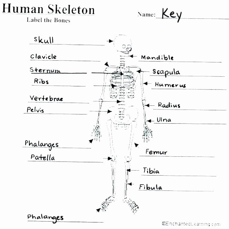 Blank Skeletal System Worksheet Horse Worksheets