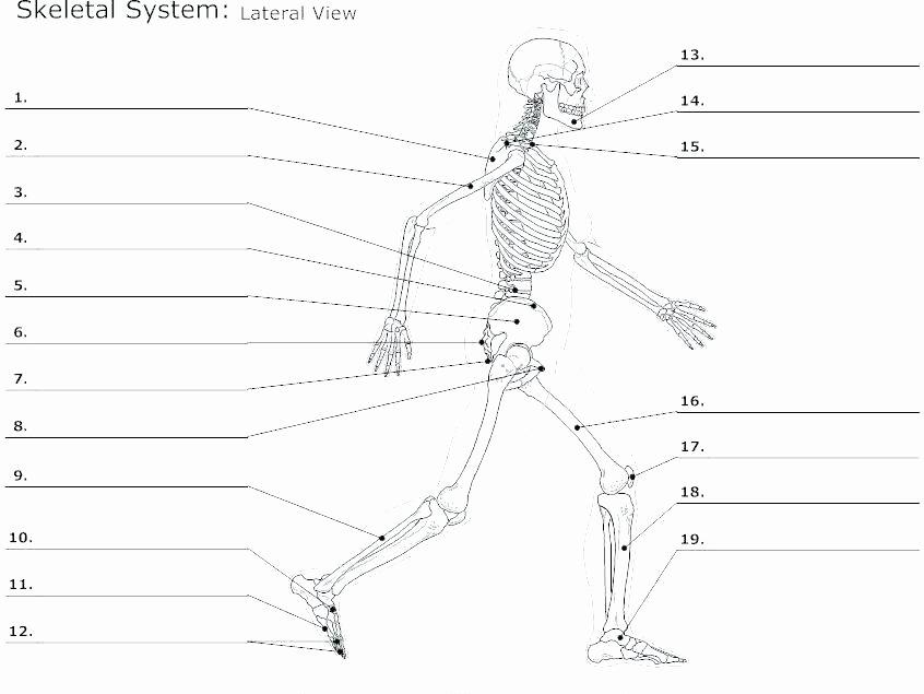 Blank Skeletal System Worksheet Human Body Worksheets