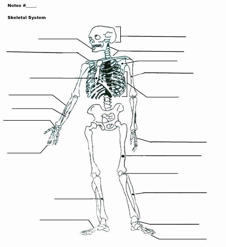 Blank Skeletal System Worksheet Math Worksheets for Preschool Free Printable Body Systems Kids