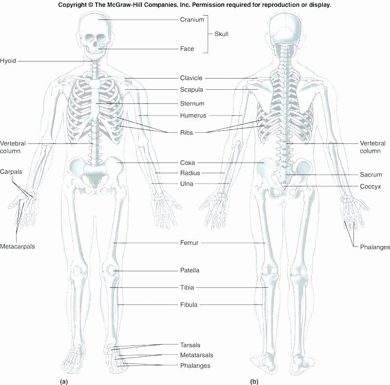 Blank Skeletal System Worksheet Muscle Fill In the Blank Worksheets