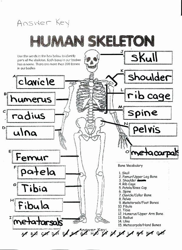 Blank Skeletal System Worksheet Ribs Diagram Blank Wiring Diagrams List