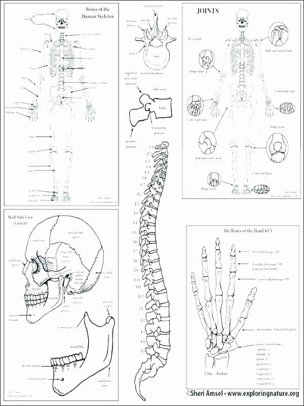 Blank Skeletal System Worksheet Skeletal System Coloring Page – Flower Grower