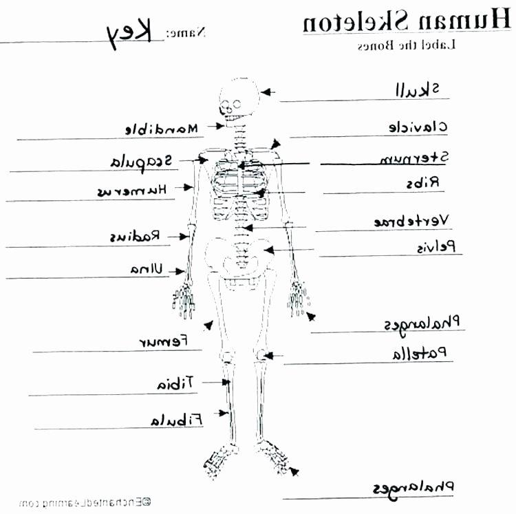 Blank Skeletal System Worksheet Skeletal System Coloring Pages – Provadiafo