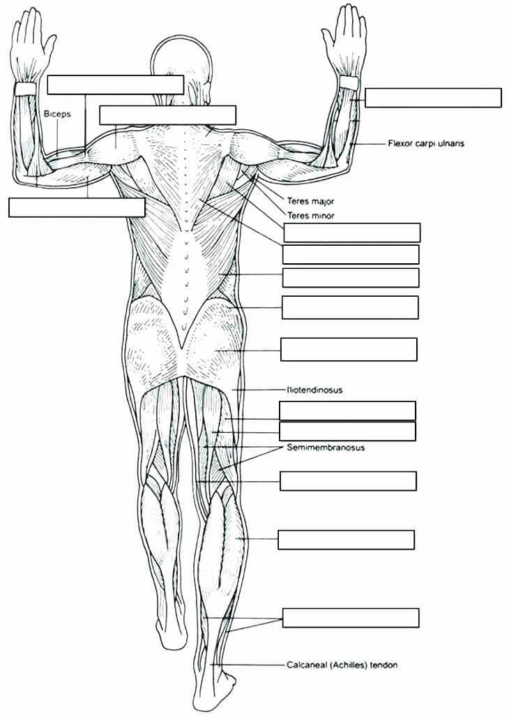 Blank Skeletal System Worksheet Skeletal System Coloring Pages – Studensfo