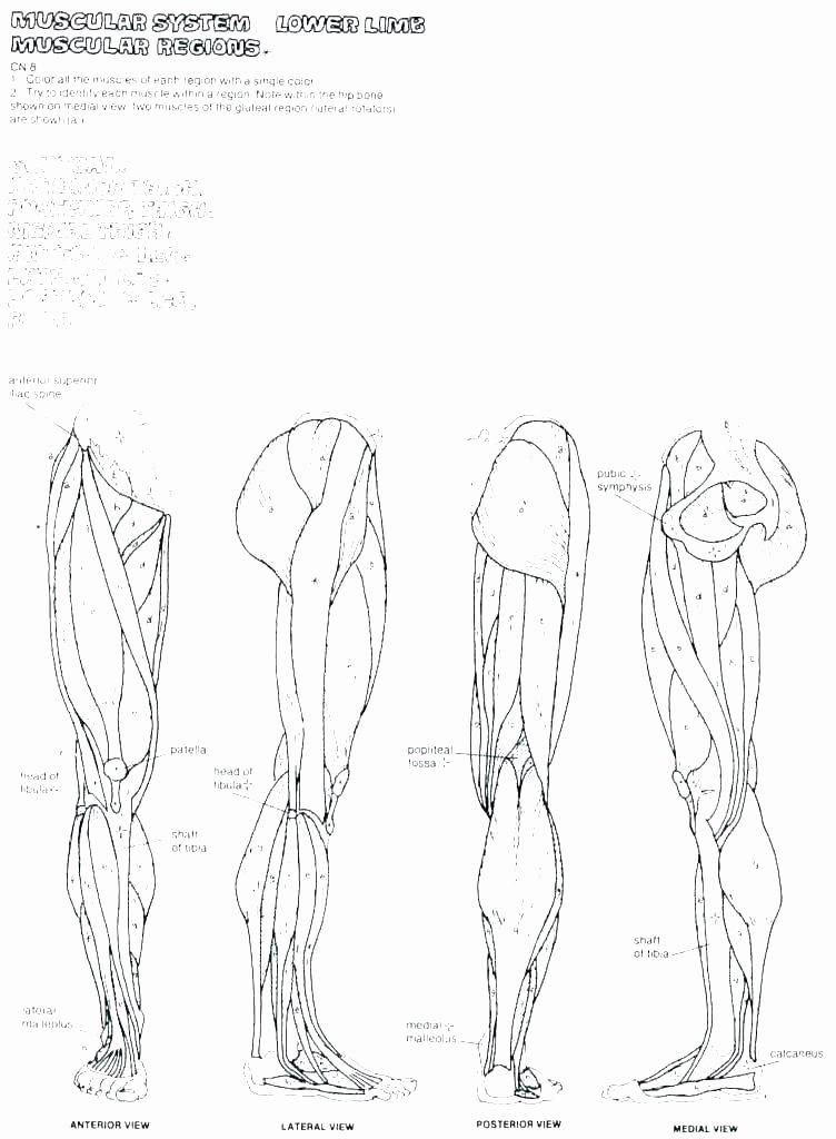 Blank Skeletal System Worksheet Skeletal System Coloring Worksheet – Psubarstool