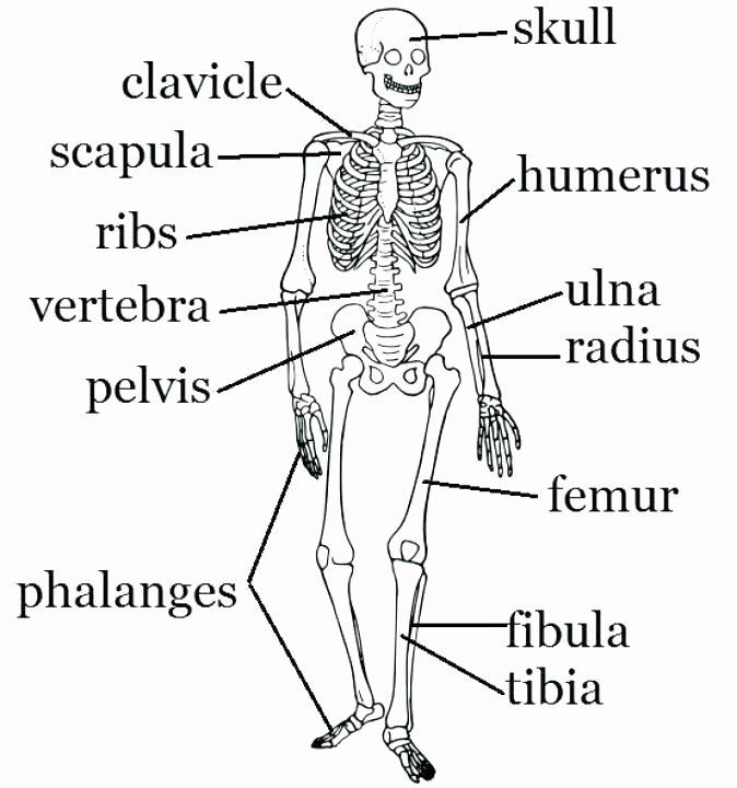 Blank Skeletal System Worksheet Skeletal System Printable Worksheets Simple Bone Diagram Co