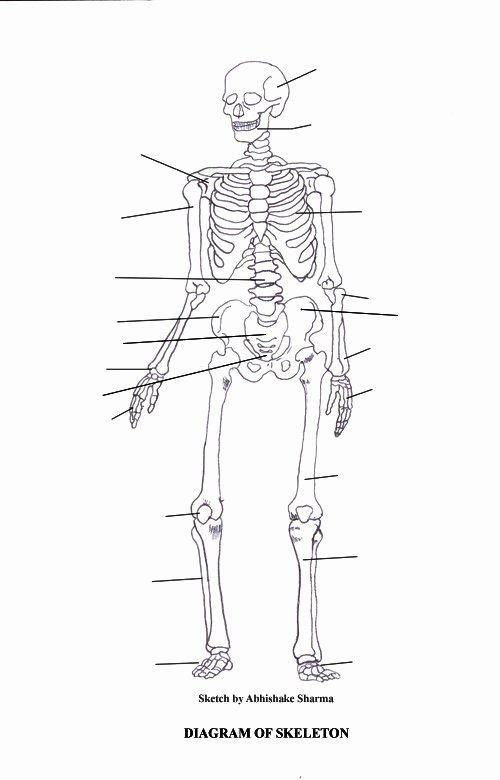 Blank Skeleton Diagram Labeled Skeletal System Diagram