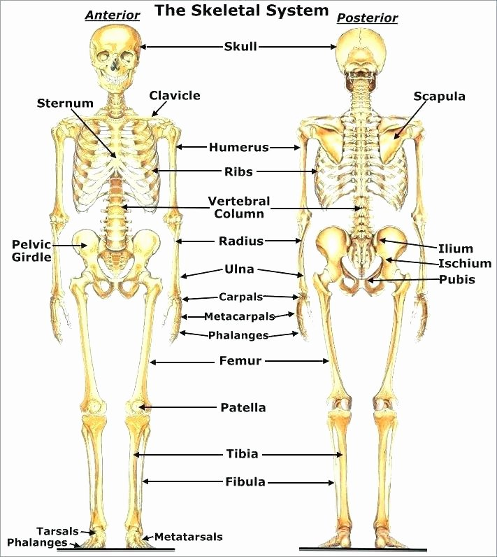 Blank Skeleton Diagram Ribs Diagram Blank Wiring Diagrams List