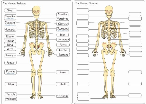 Blank Skeleton Diagram Skeleton Diagram Label Wiring Diagrams Rock