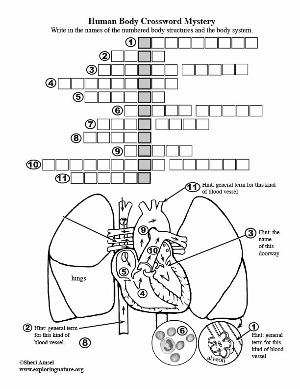 Body Systems Crossword Puzzle Circulatory System and Blood Crossword Answers
