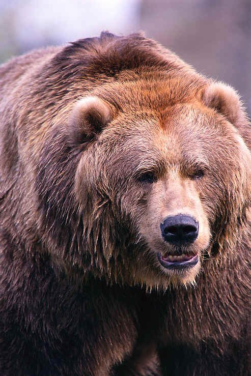 Brown Bear Brown Bear Worksheets Luxury Bear Facts Bears are Mammals