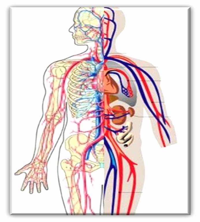 Circulatory System Blank Diagram Circulatory System Cliparts Cliparts Zone