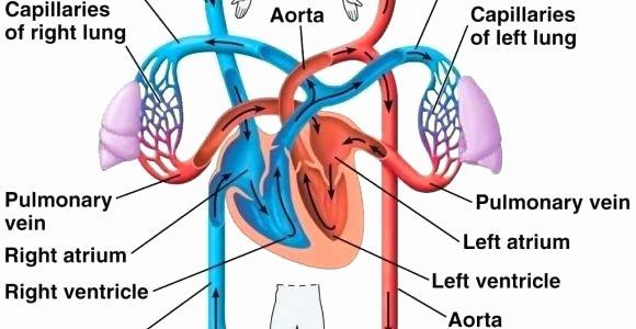 Circulatory System Blank Diagram Circulatory System Heart Diagram Worksheet – Vmglobal