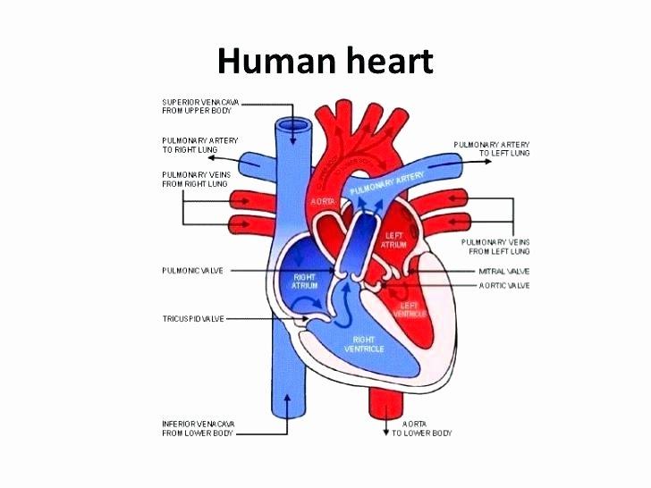 Circulatory System Blank Diagram Circulatory System Worksheet Fabulous the Human Heart